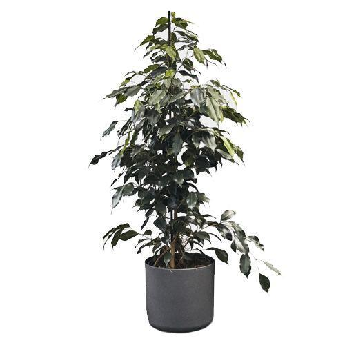 """<p><a class=""""link rapid-noclick-resp"""" href=""""https://www.patchplants.com/gb/en/plants/ficus-benjamina-46/"""" rel=""""nofollow noopener"""" target=""""_blank"""" data-ylk=""""slk:SHOP"""">SHOP</a></p><p>The Ficus Benjamina or 'Weeping Fig' was found to be effective at cleansing the air of formaldehyde, xylene and toluene in a NASA study. So not only will it give your home office a bit of colour and life, it will help purify the air you breath – much better than those noisy air cons in the office.</p><p>ficus benjamina, 100cm, £25, <a href=""""https://www.patchplants.com/gb/en/plants/ficus-benjamina-46/"""" rel=""""nofollow noopener"""" target=""""_blank"""" data-ylk=""""slk:patchplants.com"""" class=""""link rapid-noclick-resp"""">patchplants.com</a></p>"""