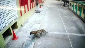 Stray panther tranquilised after creating panic