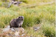 "<p><strong>State Endemic Mammal: Olympic Marmot </strong></p><p>There are some other species of marmots in the world, but this <a href=""https://leg.wa.gov/Symbols/Pages/default.aspx"" rel=""nofollow noopener"" target=""_blank"" data-ylk=""slk:specific variety only resides in the Olympic Peninsula of Washington"" class=""link rapid-noclick-resp"">specific variety only resides in the Olympic Peninsula of Washington</a>. </p>"