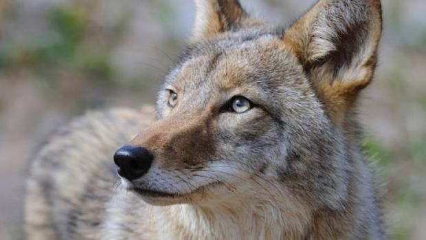 'Survival time': It's mating season for Edmonton's urban coyotes