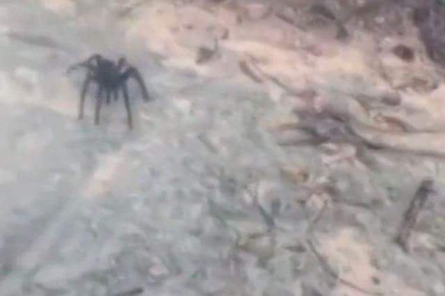 Enormous spider crawls out of bushes in Dominican Republic