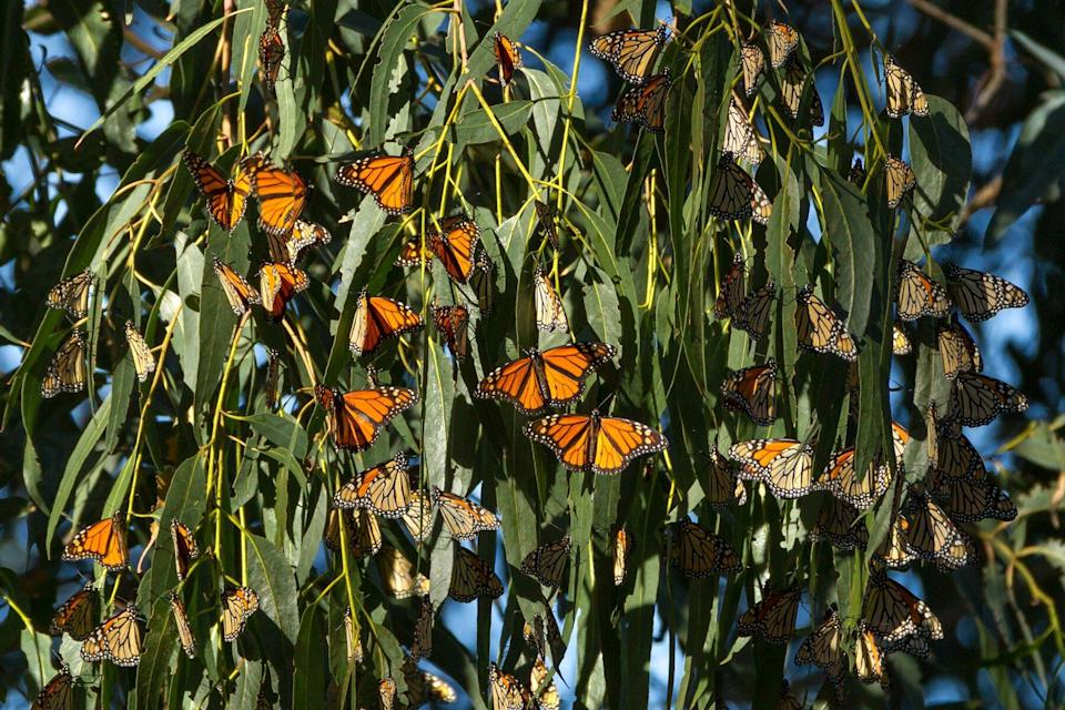 Monarch butterflies begin to gather to stay warm for the winter. Monarch Butterfly Grove, Pismo State Beach, California