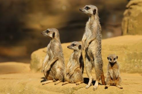 """<span class=""""caption"""">Meerkats on high alert.</span> <span class=""""attribution""""><a class=""""link rapid-noclick-resp"""" href=""""https://www.flickr.com/photos/ronmacphotos/9687131881"""" rel=""""nofollow noopener"""" target=""""_blank"""" data-ylk=""""slk:Ronnie MacDonald/Flickr"""">Ronnie MacDonald/Flickr</a>, <a class=""""link rapid-noclick-resp"""" href=""""http://creativecommons.org/licenses/by-sa/4.0/"""" rel=""""nofollow noopener"""" target=""""_blank"""" data-ylk=""""slk:CC BY-SA"""">CC BY-SA</a></span>"""