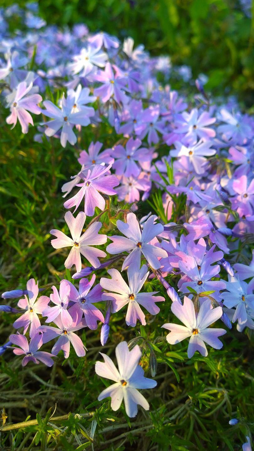 """<p>A low-growing perennial, creeping phlox is covered in tiny flowers that range from purple to pink in mid-spring. Plant it on slopes or in rock gardens and make sure they have full sun.</p><p><a class=""""link rapid-noclick-resp"""" href=""""https://www.bluestoneperennials.com/PHNH"""" rel=""""nofollow noopener"""" target=""""_blank"""" data-ylk=""""slk:SHOP CREEPING PHLOX"""">SHOP CREEPING PHLOX</a></p>"""