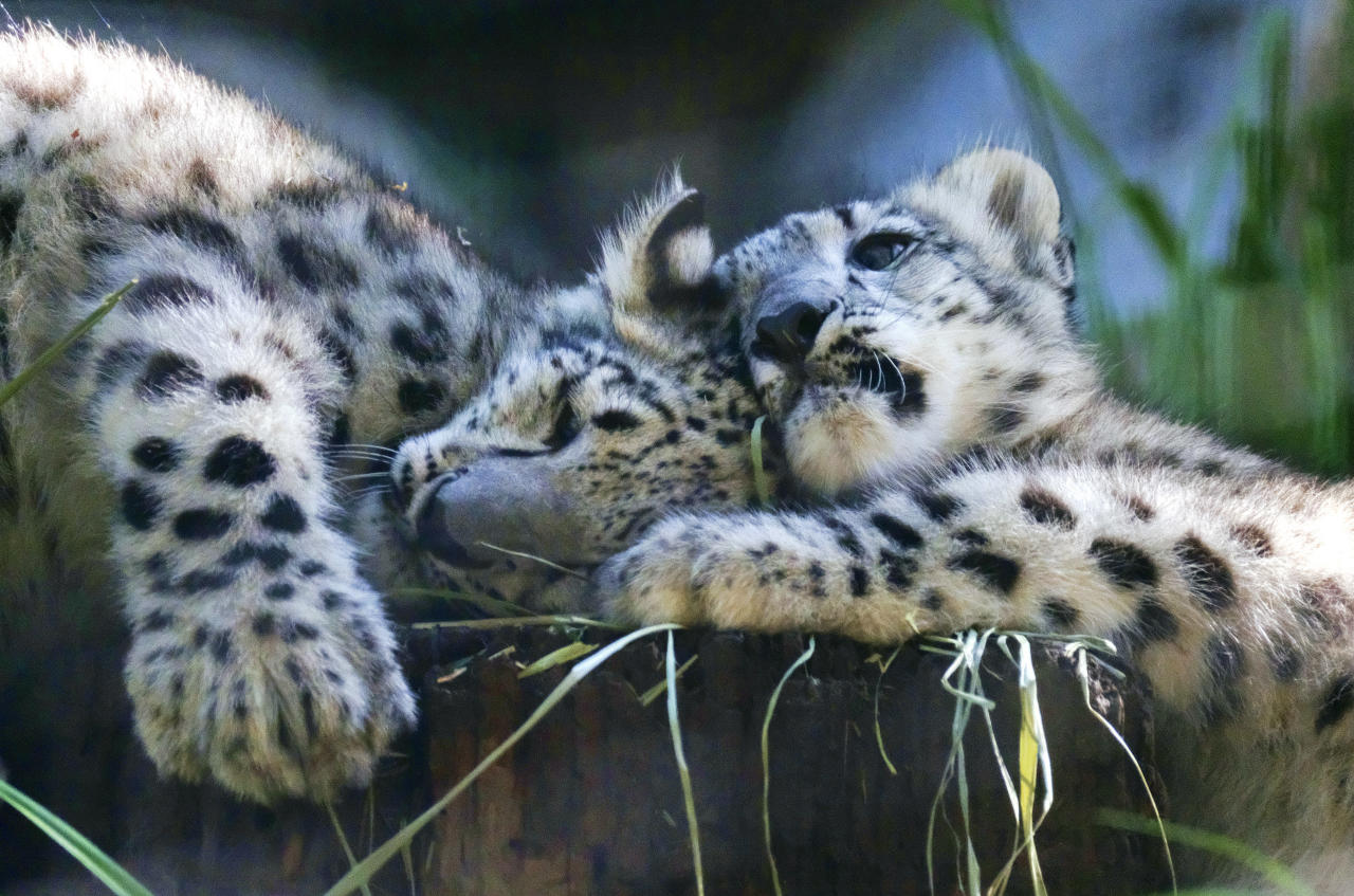 <p>Two endangered snow leopard cubs play in their enclosure at the Los Angeles Zoo on Tuesday, Sept. 12, 2017. Brother and sister snow leopard kittens romped and rough-housed as they made their public debut Tuesday. The fuzzy siblings, born in May, explored their outdoor habitat as their mother Georgina and zoo visitors looked on. (AP Photo/Richard Vogel) </p>