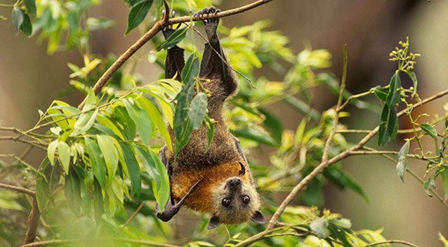 A grey-headed flying fox. File pic. Source: Getty Images