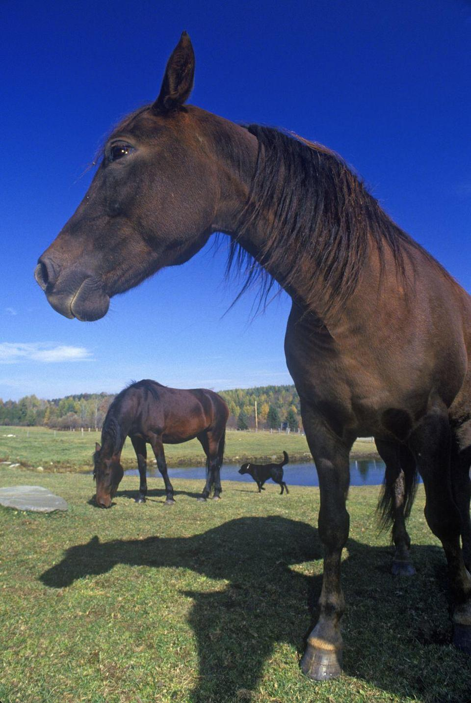<p><strong>State Mammal: Morgan Horse </strong></p><p>This horse breed originated in Vermont and became the state mammal in 1961. </p>
