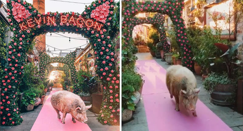 Kevin Bacon is the retiring pig mascot of Sydney cafe The Grounds of Alexandria.