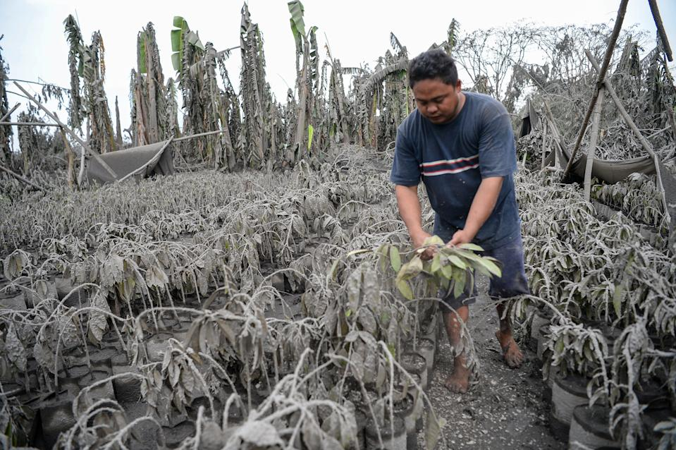 """A worker walks past plants covered with mud and ash after Taal volcano erupted, in Talisay town, Batangas province south of Manila on January 13, 2020. - Lava and broad columns of ash illuminated by lightning spewed from a volcano south of the Philippine capital on January 13, grounding hundreds of flights as authorities warned of a possible """"explosive eruption"""". (Photo by Ted ALJIBE / AFP) (Photo by TED ALJIBE/AFP via Getty Images)"""
