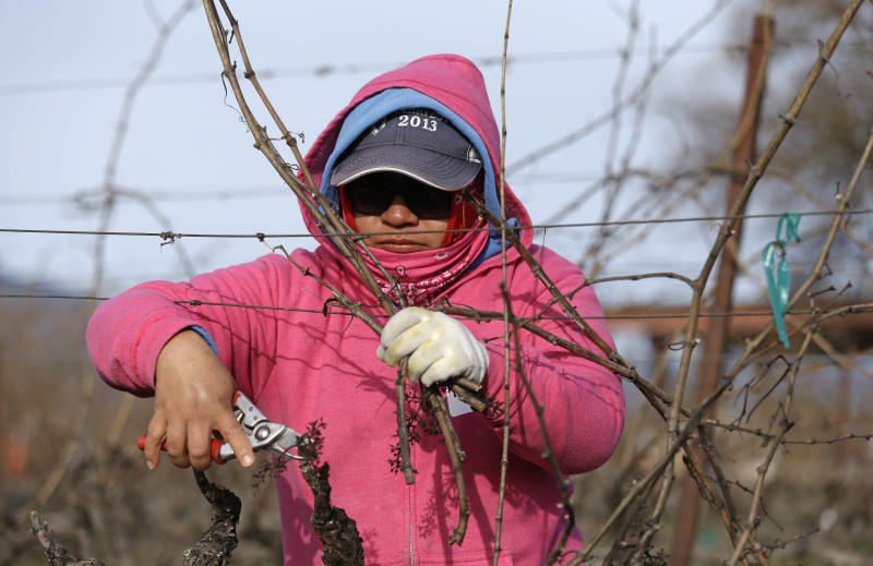 In this Thursday, Feb. 20, 2014 photo, Yolanda Tolentino-Reyes competes in the first-ever women's division of the annual Napa Valley Grapegrowers' pruning competition at Beringer Vineyards' Gamble Ranch in Yountville, Calif. Pruning is an important part of vine husbandry that focuses the new growth on vines and helps determine what the next harvest will look like. Different techniques are used for different grapes and climates, and skill is as important as speed. (AP Photo/Eric Risberg)