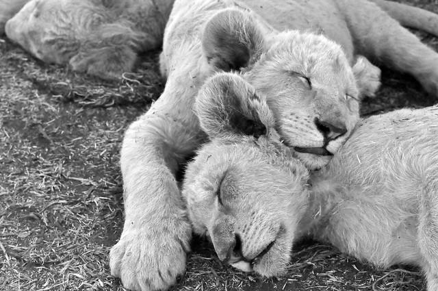 White lion brothers