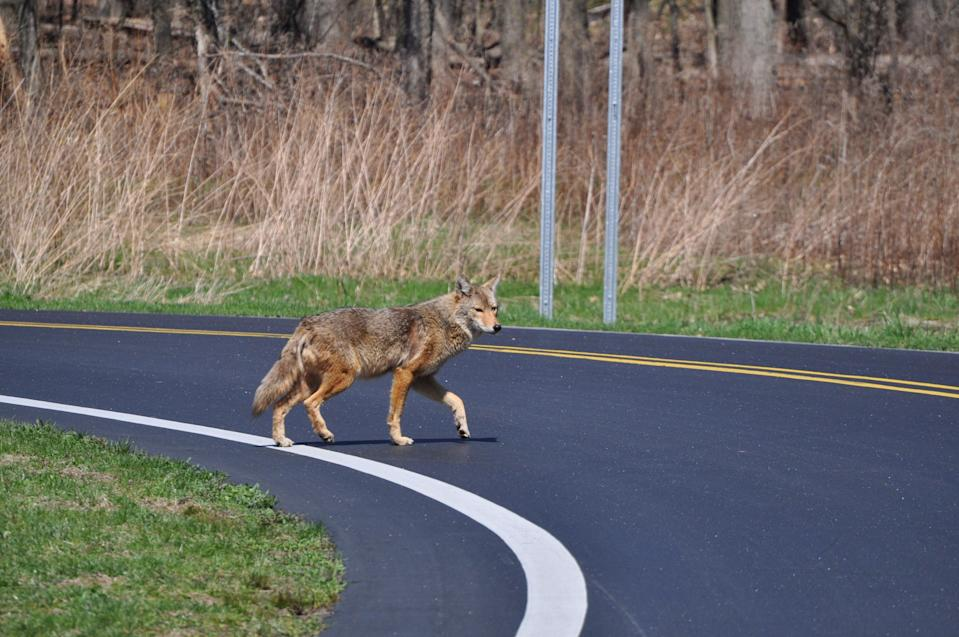 It's unusual for coyotes to bite humans; they generally keep their distance.