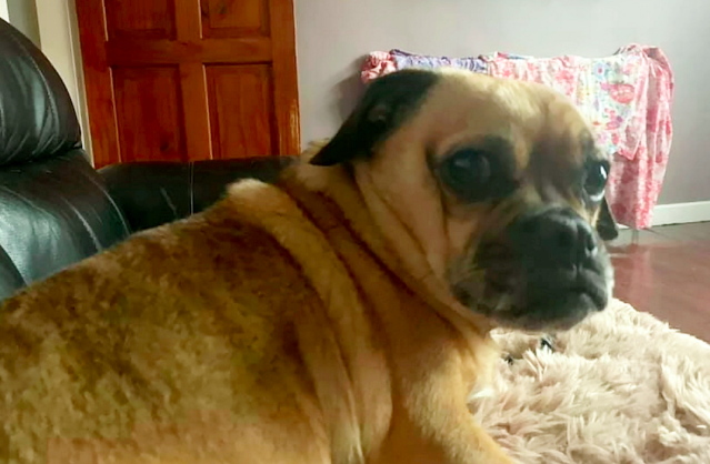 Dog owner Becky Parsons lost Pablo the pug and Maggie the Jack Russell (pictured). (SWNS)