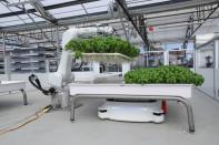 A robotic arm system named Ada lifts Genovese Basil plants for its roots to be inspected at the Iron Ox greenhouse in Gilroy, California