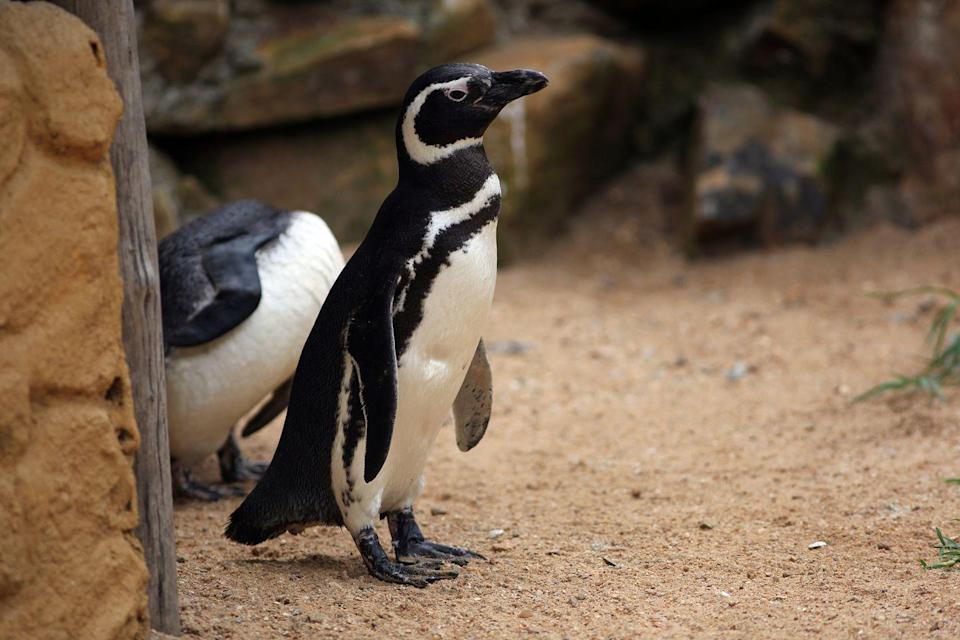 """<p>Tune in to San Diego's penguin cam to watch these adorable creatures splashing around in the water and on the shore. Perfect at-home entertain. </p><p><a class=""""link rapid-noclick-resp"""" href=""""https://zoo.sandiegozoo.org/cams/penguin-cam"""" rel=""""nofollow noopener"""" target=""""_blank"""" data-ylk=""""slk:WATCH NOW"""">WATCH NOW</a> </p>"""