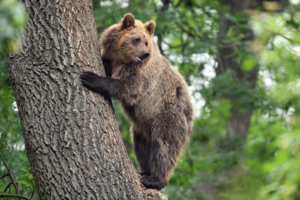 Brown bear in a tree