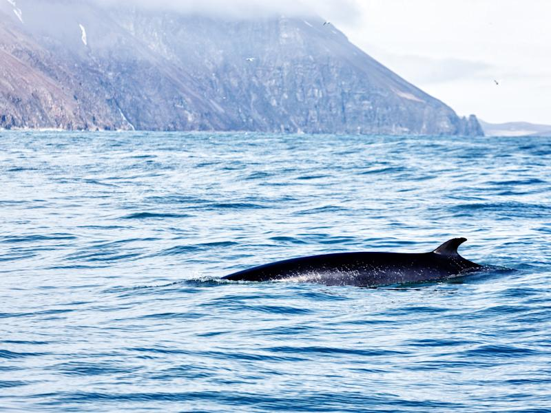File photo of a minke whale off the coast of Iceland: Getty Images/iStockphoto