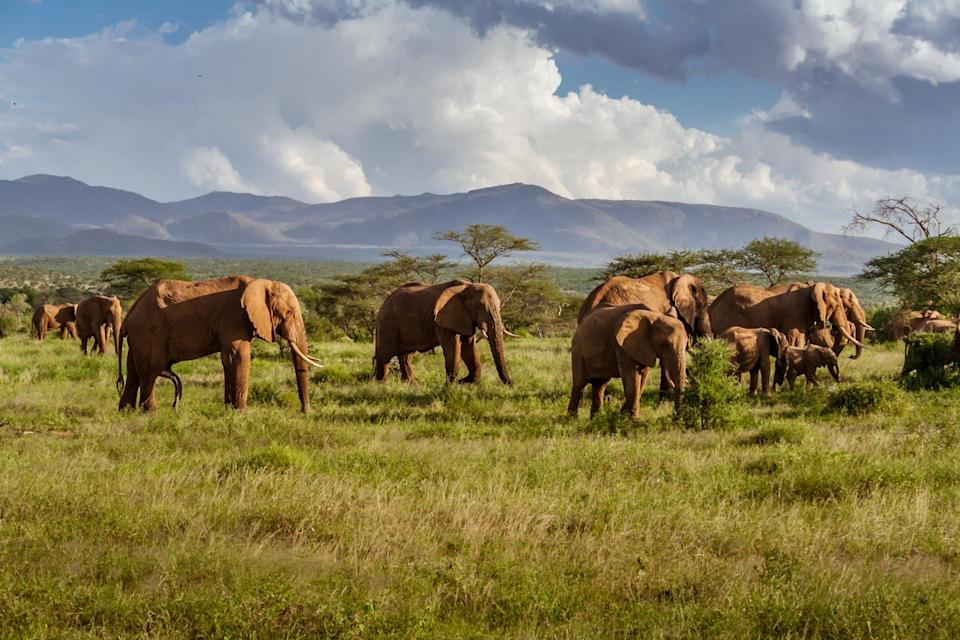 elephants Credit: Pierre-Yves Babelon. Moment. Getty Images