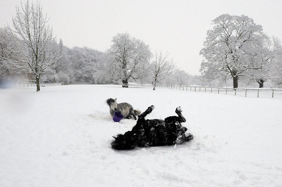 Ponies roll in the snow in a field in Helperby, northern England (Photo: REUTERS)