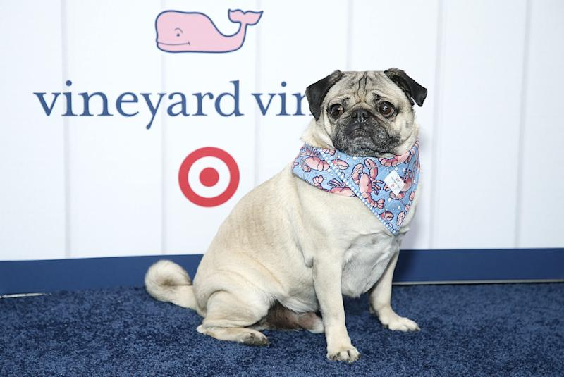 NEW YORK, NEW YORK - MAY 09: Doug the Pug attends Vineyard Vines for Target Launch at Brookfield Place on May 09, 2019 in New York City. (Photo by John Lamparski/Getty Images)
