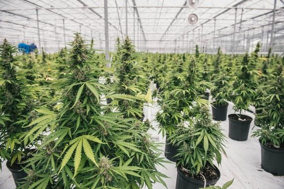 Marijuana growing in pots in a greenhouse.
