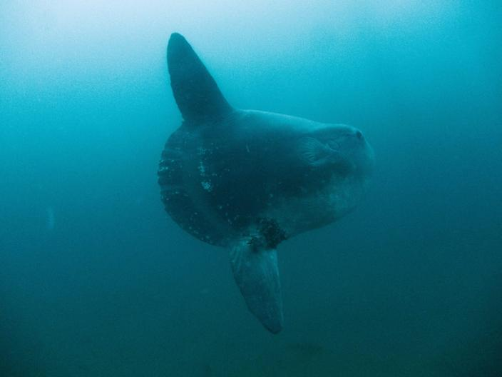 Lauren Wilson photographed a hoodwinker during a dive in Monterey Bay, California on Feb. 5, 2015.