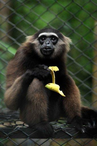 A rescued gibbon monkey is seen confined at the rehabilitation center run by French environmentalist Aurelien Brule, popularly known by his adopted nickname Chanee, meaning Gibbon in Thai, in Barito Utarra district of Central Kalimantan province, on Indonesia's Borneo island. For years, Chanee has worked towards protecting the gibbons whose ranks have been decimated by rampant deforestation