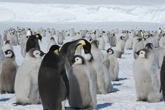 Babies Abound at Penguin Colony Found by Poop