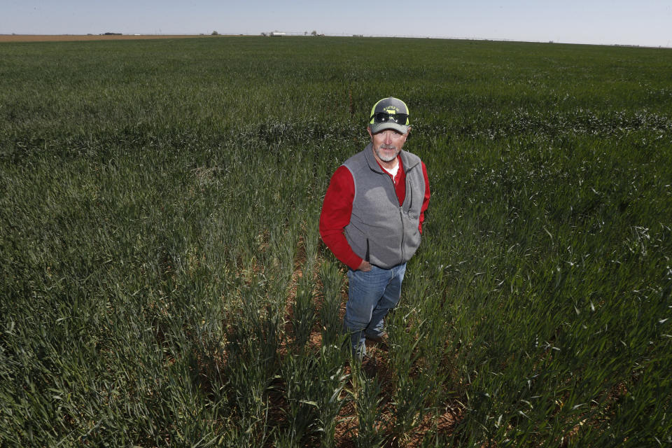 Tim Black stands in a pasture of wheat and grass at his Muleshoe, Texas, farm on Monday, April 19, 2021. The longtime corn farmer now raises cattle and has planted some of his land in wheat and native grasses because the Ogallala Aquifer, used to irrigate crops, is drying up. (AP Photo/Mark Rogers)