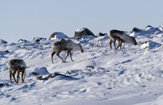Wild caribou are seen near the Meadowbank Gold Mine in Nunavut in 2009. The N.W.T. Species at Risk Committee announced Tuesday it was changing its assessment process of species at risk.  (Nathan Denette/The Canadian Press - image credit)