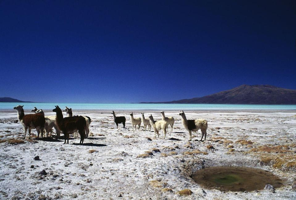 <p>A herd of llamas on the shores of Coipasa Lake, Bolivia // February 9, 2017</p>