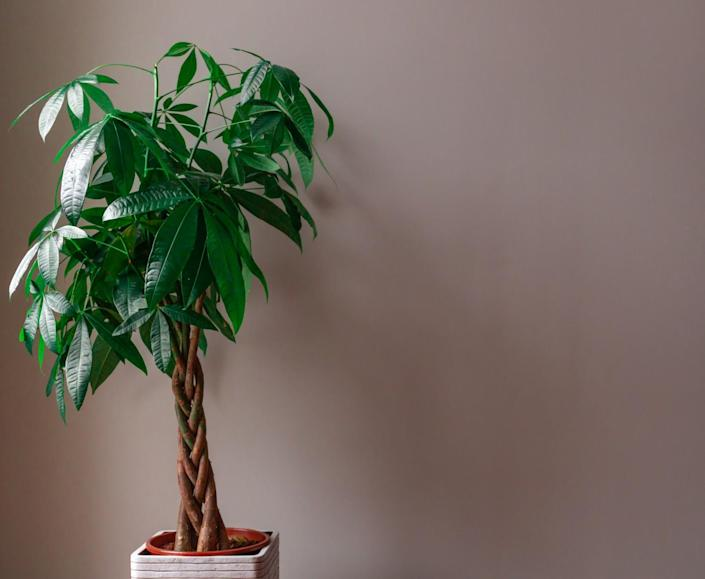 A money tree with a braided trunk in a pot.