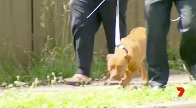 The bigger dog was taken by council officers. Source: 7 News