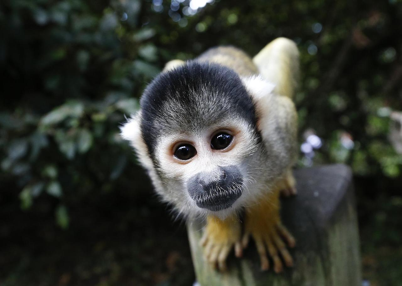 A squirrel monkey looks into the camera during a photocall at London Zoo, Thursday, Aug. 21, 2014. The Zoo held it's annual weigh-in where the vital statistics of animals were taken in an aid for keepers to detect pregnancies and check the animals general wellbeing. (AP Photo/Kirsty Wigglesworth)