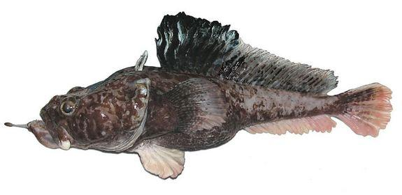 This newfound species is the hopbeard plunderfish (Pogonophryne neyelovi). It can live nearly a mile under the surface of Antarctica's Ross Sea.