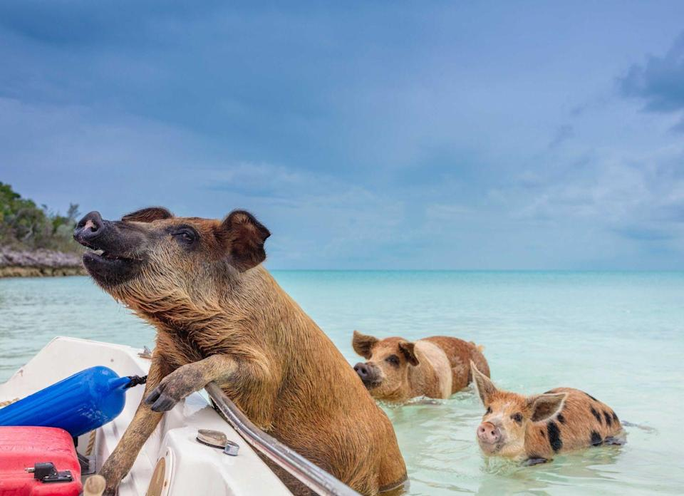 <p>Wild pigs roam the clear waters on Pig Beach in Exuma, The Bahamas. </p>
