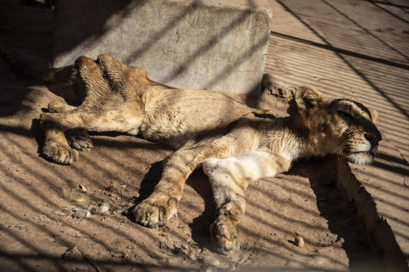 In this Tuesday, Jan. 21 photo, a malnourished lion rests in a zoo in Khartoum, Sudan. With the staff at the destitute Al-Qurashi Park, as the zoo in Khartoum is known, unable to feed and look after the animals, many have died off or were evacuated, leaving only three skeletal lions. (AP Photo)