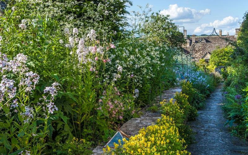 Corydalis lutea thrives in walls and pathways – wherever it is not wanted - Marianne Majerus