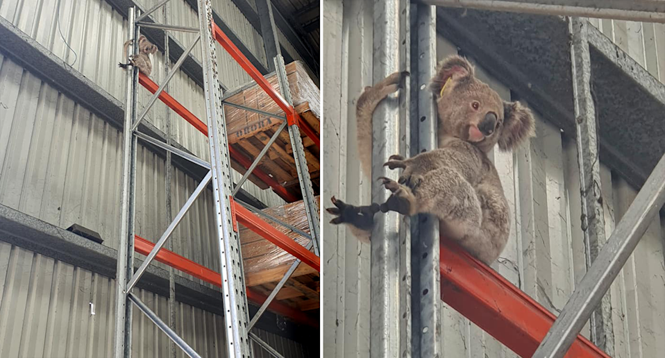 A cherrypicker was required to get the koala down from inside this factory in Clontarf. Source: Kate Newland Edwards