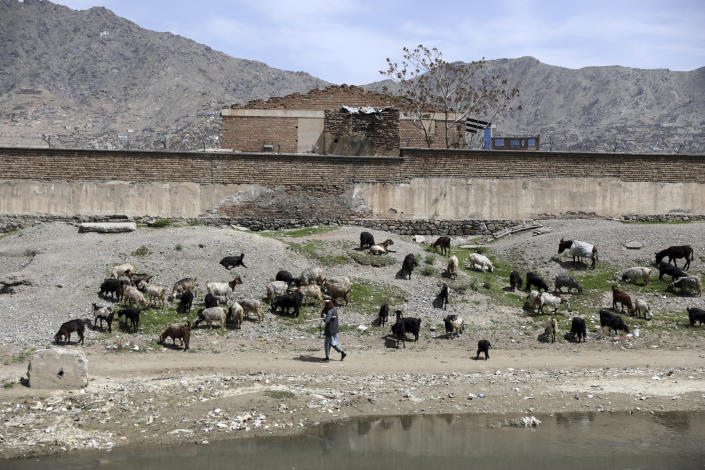An Afghan nomad, called Kuchi, shepherd leads his sheep on the outskirts of Kabul, Afghanistan, Friday, April 9, 2021. (AP Photo/Rahmat Gul)