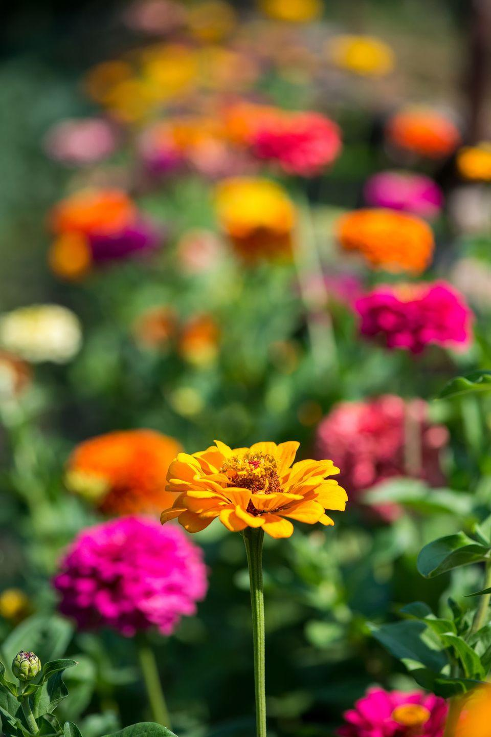 """<p>Extra-bright colors, sturdy stems, and huge blooms on some varieties make this annual a must-have for any garden border. Zinnias attract pollinators and bloom until frost, too. Needs full sun.<br></p><p>Varieties to try: White Wedding, Forecast Mix</p><p><a class=""""link rapid-noclick-resp"""" href=""""https://go.redirectingat.com?id=74968X1596630&url=https%3A%2F%2Fwww.burpee.com%2Fflowers%2Fzinnias%2Fzinnia-forecast-prod500078.html&sref=https%3A%2F%2Fwww.housebeautiful.com%2Fentertaining%2Fflower-arrangements%2Fg2411%2Fpopular-flowers-summer%2F"""" rel=""""nofollow noopener"""" target=""""_blank"""" data-ylk=""""slk:SHOP NOW"""">SHOP NOW</a></p>"""