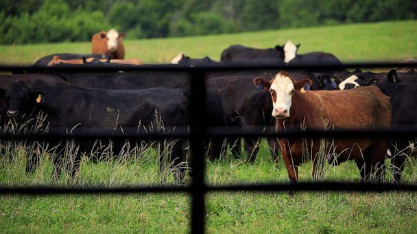 PHOTO: Cattle graze in a pasture at a farm in Waddy, Ky., June 25, 2021.  (Luke Sharrett/Bloomberg via Getty Images)