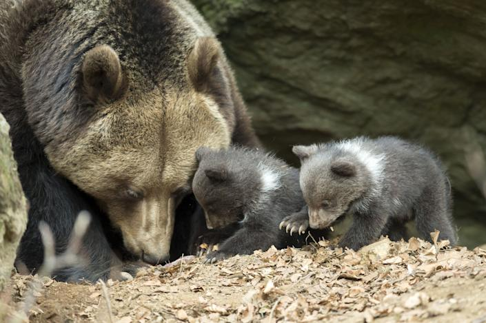 Brown Bear, (Ursus arctos), cubs, Germany.