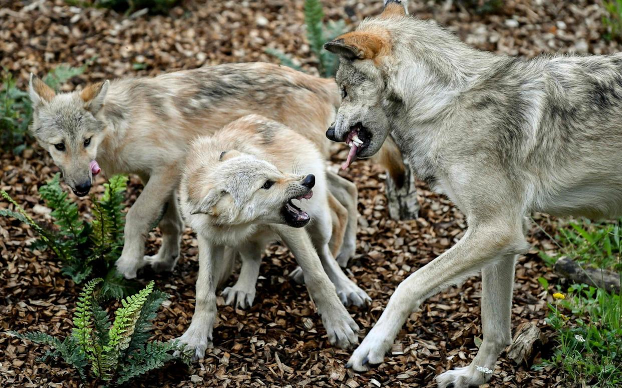 A female wolf with her cubs at a Belgian animal park. Hopes for a wild female wolf are fading after she went about four months ago. - AFP