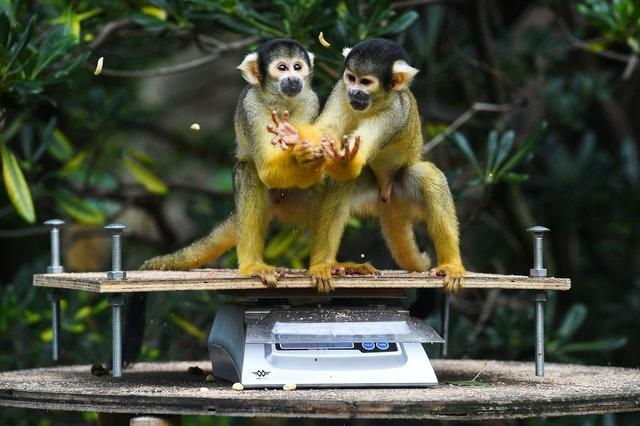 Squirrel monkeys are weighed during the annual weigh-in at ZSL London Zoo