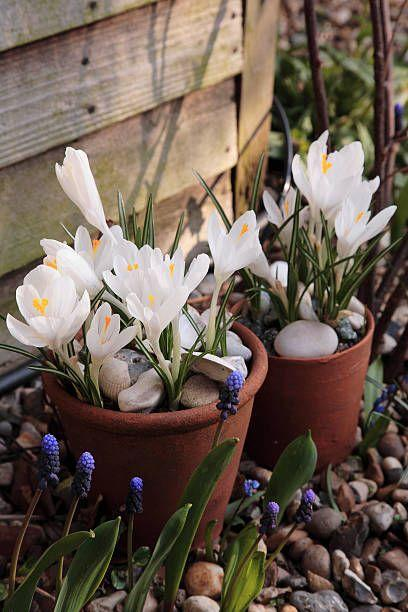 "<p>These cheery cup-shaped blooms appear in late winter, sometimes when snow is still on the ground. They're some of the earliest and most reliable bulbs to bloom. Plant them en masse for the biggest visual impact.</p><p>Try: Blue Pearl, Tricolor</p><p><a class=""link rapid-noclick-resp"" href=""https://go.redirectingat.com?id=74968X1596630&url=https%3A%2F%2Fwww.burpee.com%2Fperennials%2Fcrocus%2Fcrocus-blue-pearl-prod002437.html&sref=https%3A%2F%2Fwww.housebeautiful.com%2Flifestyle%2Fg33250622%2Fwhat-to-plant-in-october%2F"" rel=""nofollow noopener"" target=""_blank"" data-ylk=""slk:SHOP NOW"">SHOP NOW</a></p>"
