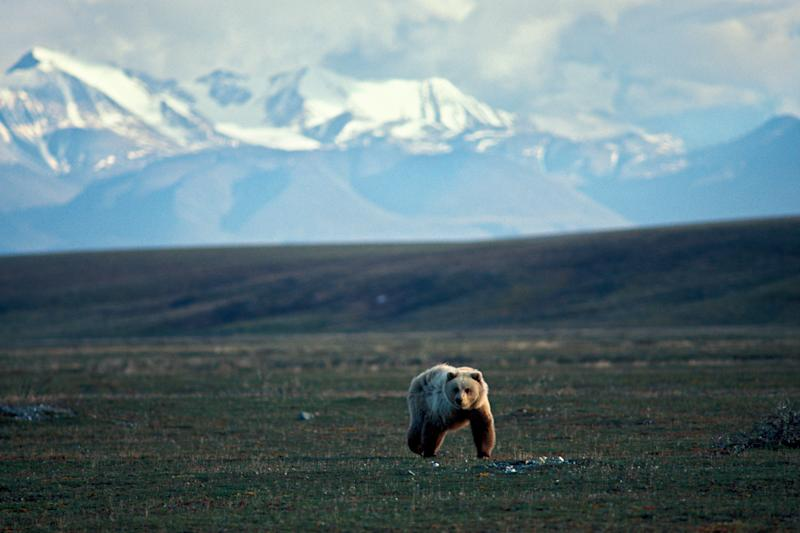 A grizzly bear walks across tundra in the 1002 area of the Arctic National Wildlife Refuge.