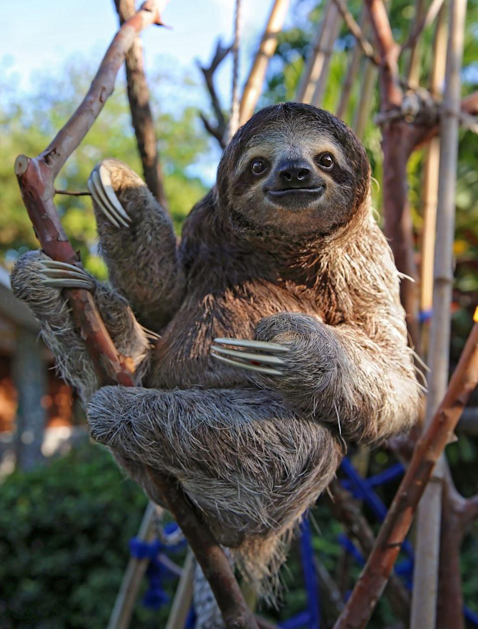 """<p>There are two types of sloths slowly roaming the rainforests in Central and South America: toed and three-toed sloths. Of the two different kinds of sloths, there are six different species. According to the World Wildlife Federation, <a href=""""https://www.worldwildlife.org/species/sloth"""" rel=""""nofollow noopener"""" target=""""_blank"""" data-ylk=""""slk:the Pygmy three-toed sloth is critically endangered"""" class=""""link rapid-noclick-resp"""">the Pygmy three-toed sloth is critically endangered</a>.<br></p>"""