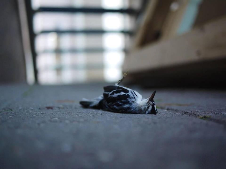 A dead bird is shown below the a glass walkway at the National Gallery of Canada in Ottawa. Glass structures and buildings with glass windows are a hazard for many North American birds.  (Safe Wings Ottawa - image credit)