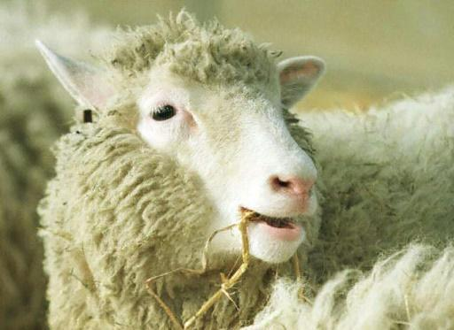 <p>Dolly the cloned sheep was not old before her time: study</p>